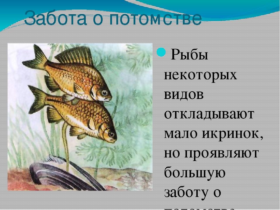 размножение и развитие потомства у рыб фото классической