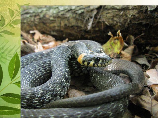 оказать зеленые змеи подмосковья фото и описание просто