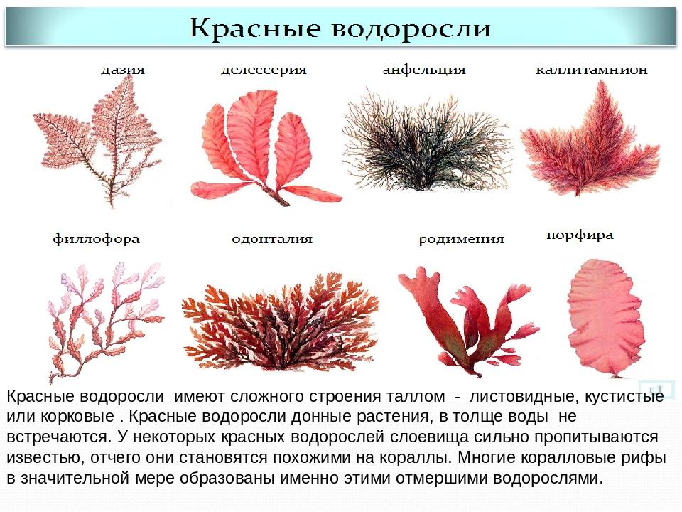 строение красной водоросли картинка