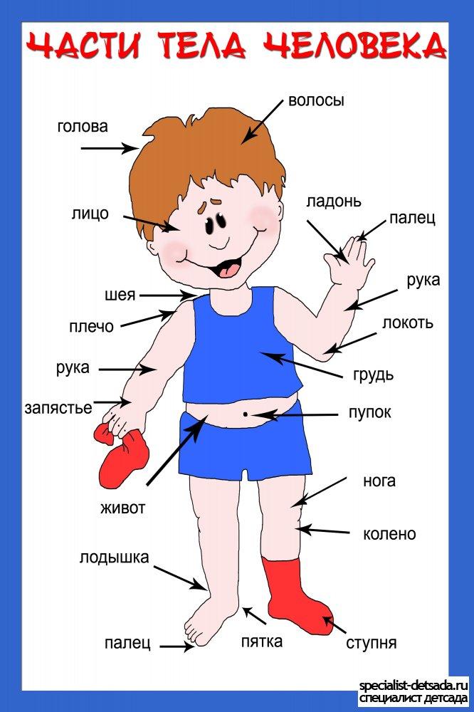 Тело человека в картинках для детей
