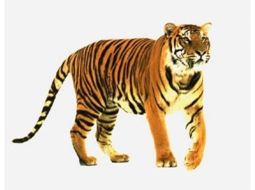 картинки для детей тигра