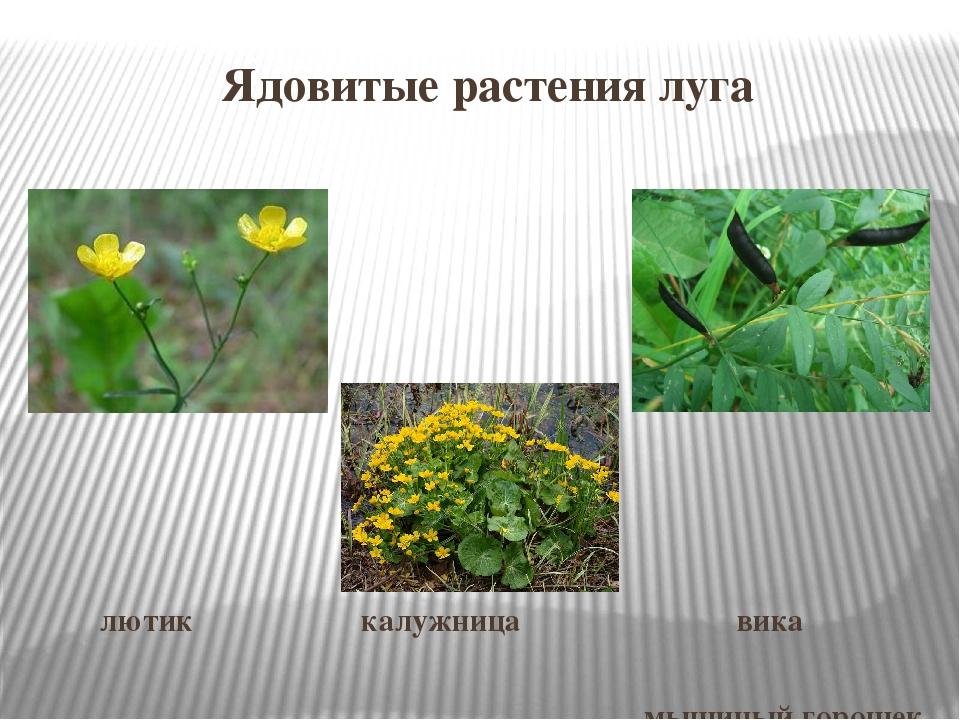 вашему ядовитые полевые растения фото и названия как формы
