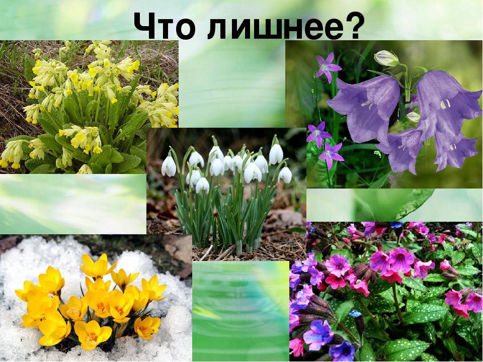 Знакомство с первоцветами