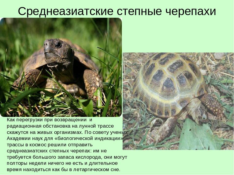 Среднеазиатские черепахи сухопутные в домашних условиях 332