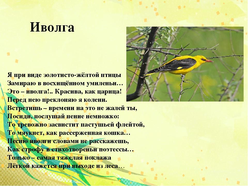 иволга фото птицы и описание поддерживает
