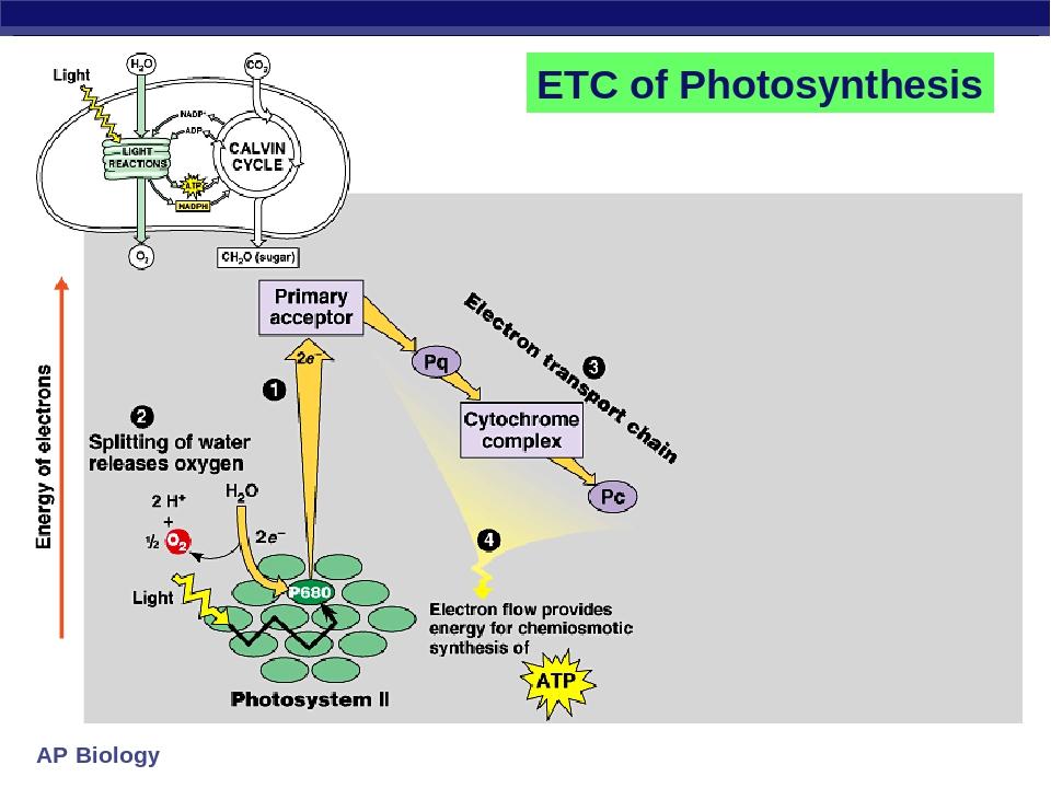 biology photsynthesis