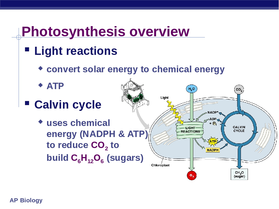 using photosynthesis to supply clean energy essay The future of energy bio battery photosynthesis from carbon dioxide and water both animal and plant metabolism and a clean energy source.