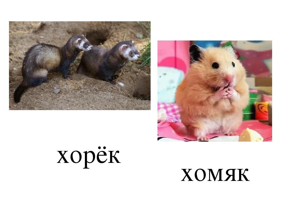 хорёк хомяк