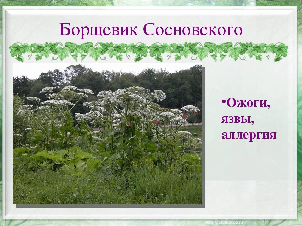 Борщевик Сосновского Ожоги, язвы, аллергия