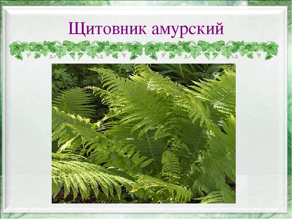 Щитовник амурский