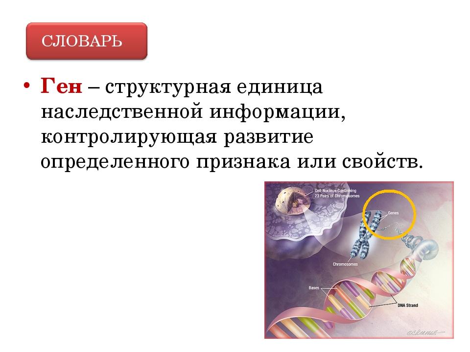 Ген – структурная единица наследственной информации, контролирующая развитие...
