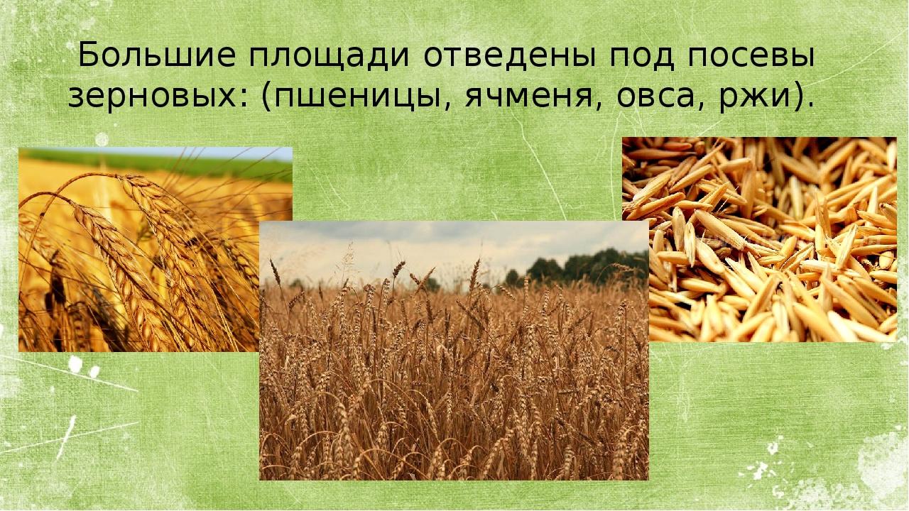 Большие площади отведены под посевы зерновых: (пшеницы, ячменя, овса, ржи).