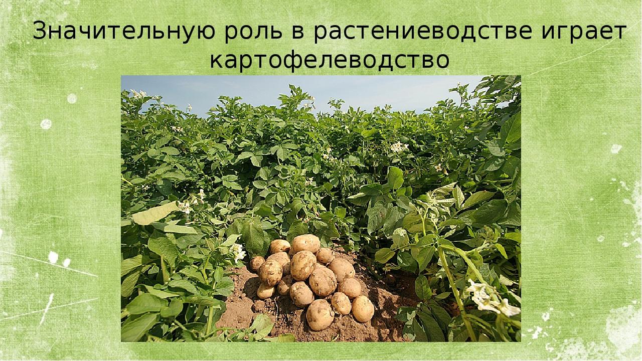 Значительную роль в растениеводстве играет картофелеводство