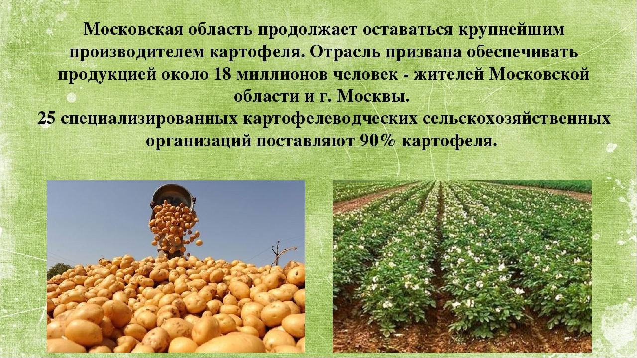 Московская область продолжает оставаться крупнейшим производителем картофеля...