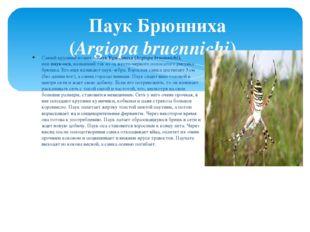 Самый крупный из них –паук Брюнниха (Argiopa bruennichi), илипаук-оса, назв