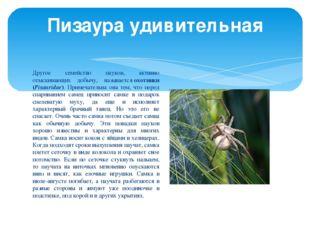 Другое семейство пауков, активно отыскивающих добычу, называетсяохотники (Pi