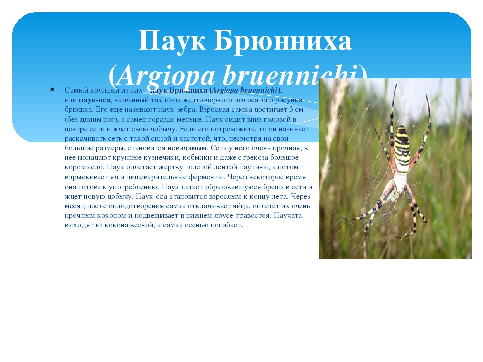 Самый крупный из них –паук Брюнниха (Argiopa bruennichi), илипаук-оса, назв...