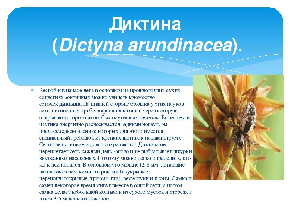 Весной и в начале лета в основном на прошлогодних сухих соцветиях зонтичных м...