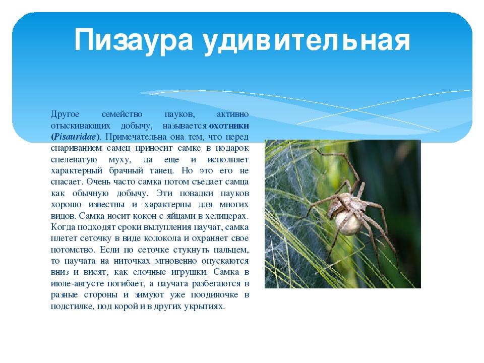 Другое семейство пауков, активно отыскивающих добычу, называетсяохотники (Pi...