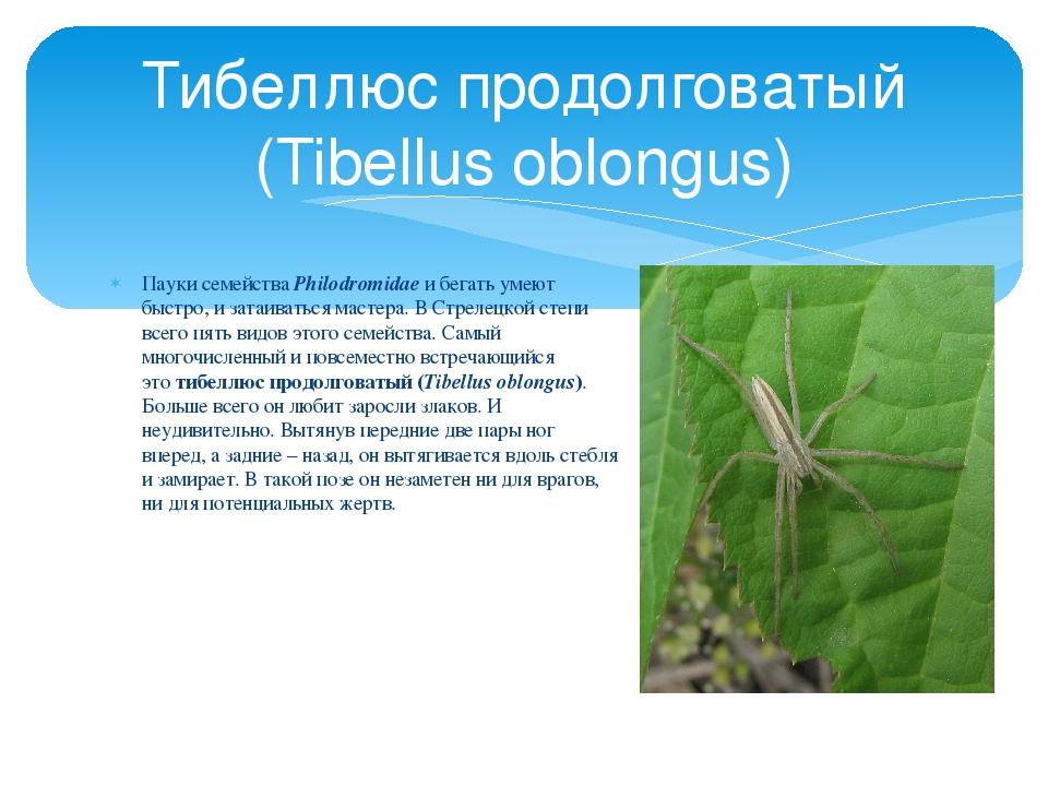 Пауки семействаPhilodromidaeи бегать умеют быстро, и затаиваться мастера. В...