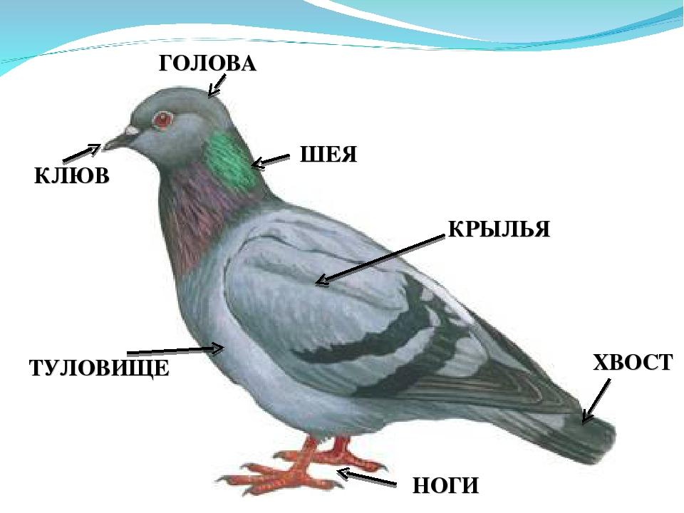 Схема строения животных для дошкольников