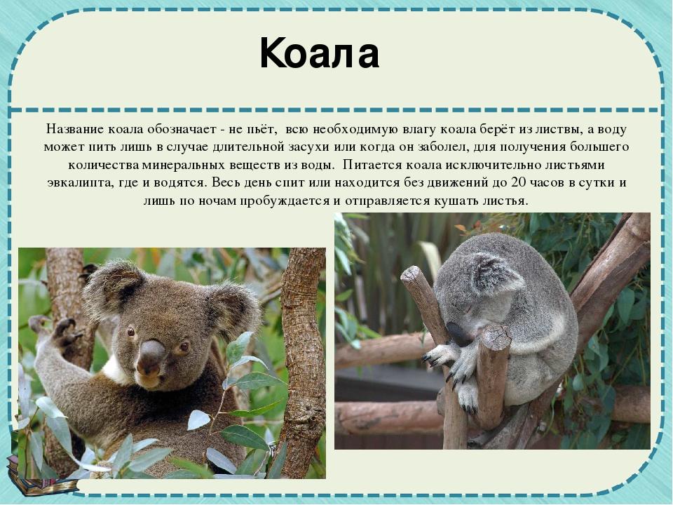 коала картинка с описанием является наиболее