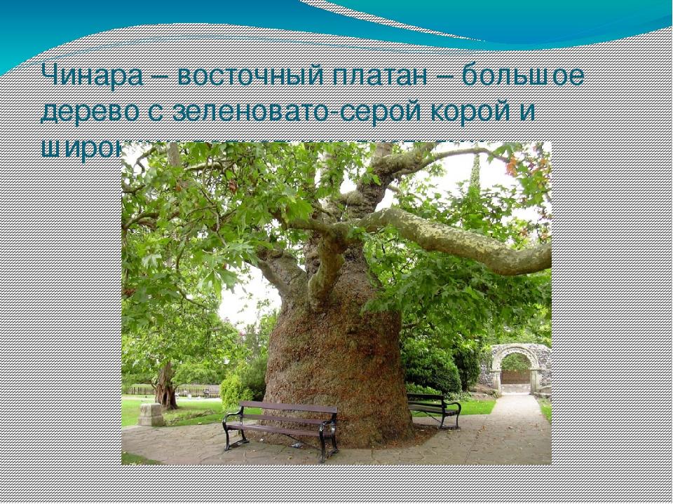 Чинара – восточный платан – большое дерево с зеленовато-серой корой и широким...