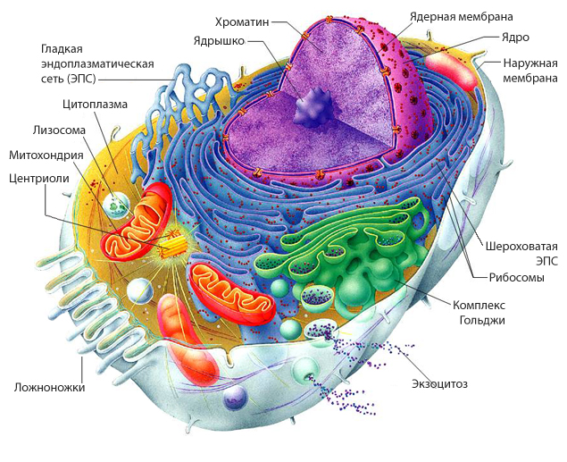 an analysis of the different types of cell parts in an organism Cell structure  cell  they are the building blocks of an organism nevertheless, all these different types of cells are derived from the same embryonic cells.