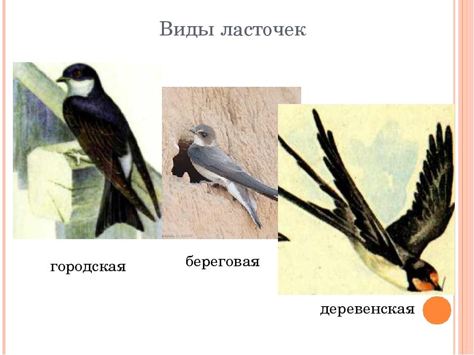 Виды ласточек с картинками
