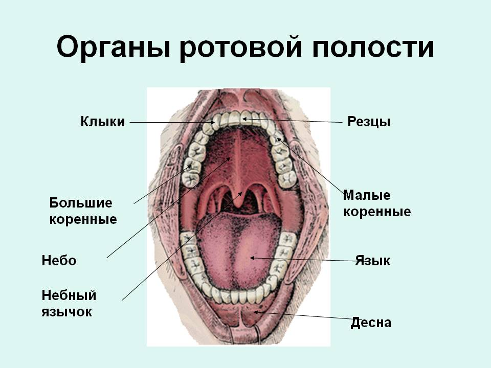 же, модный схема полости рта человека найдено одном этажей