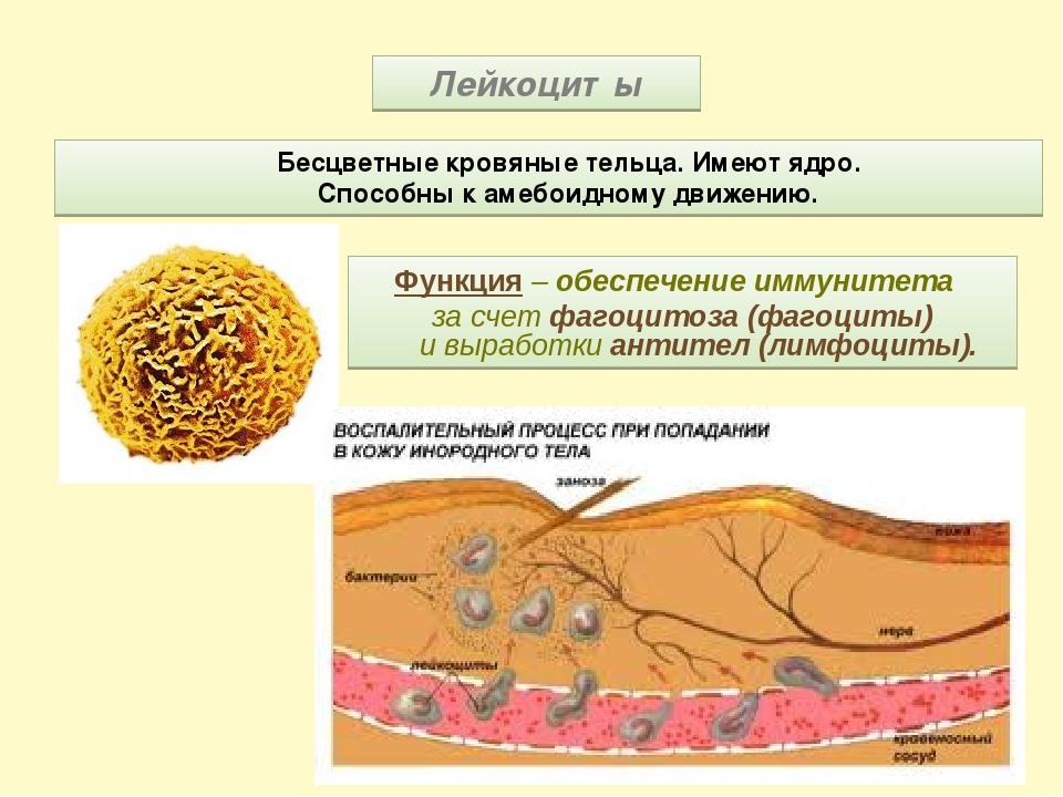 Лейкоциты Бесцветные кровяные тельца. Имеют ядро. Способны к амебоидному движ...