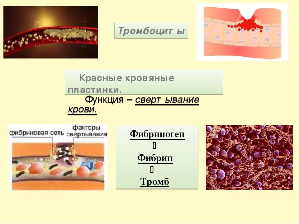Тромбоциты Красные кровяные пластинки. Функция – свертывание крови. Фибриноге...