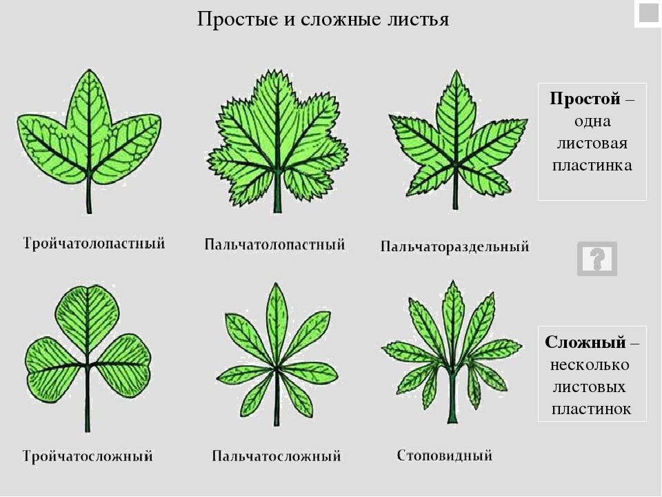картинки простые и сложные листья примеры картинки нами легко купить