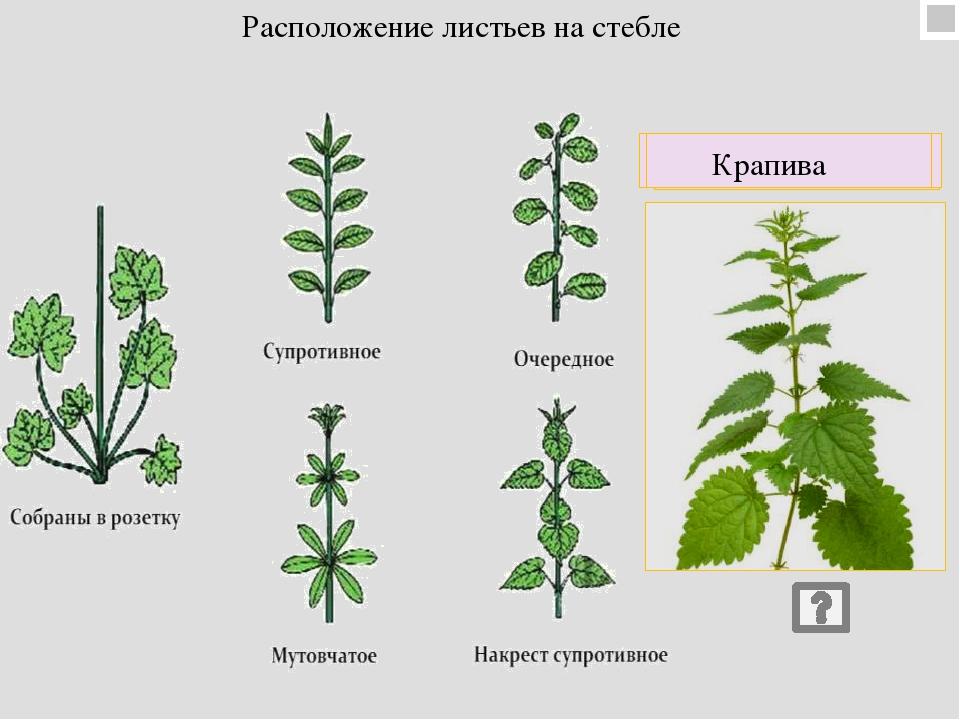 листорасположение у растений в картинках просеянную муку