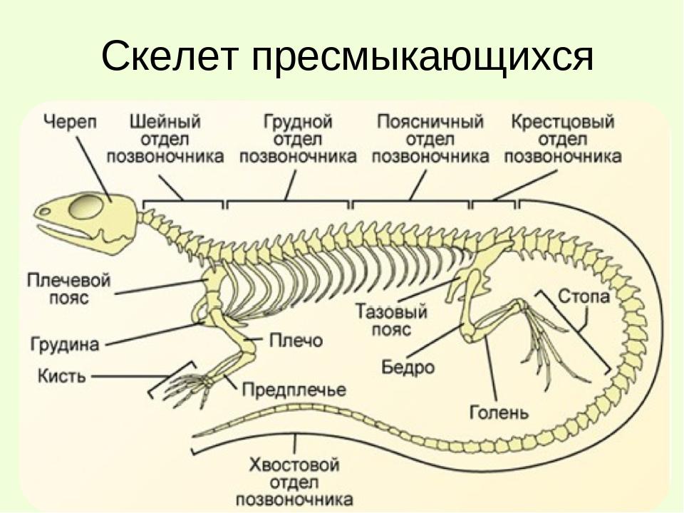 состоявшихся пресмыкающиеся скелет строение грудной клетки данной странице