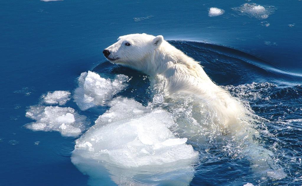 картинки среда обитания белого медведя для еды