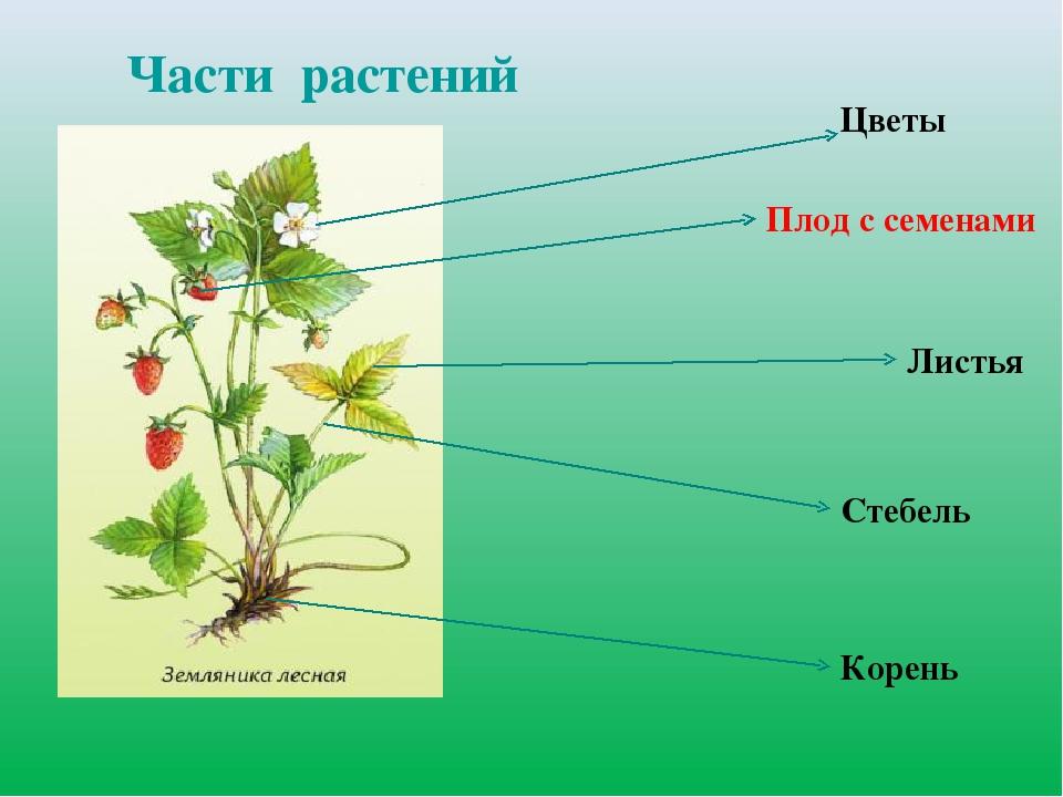 сорта внешнее строение растения картинки для механизации