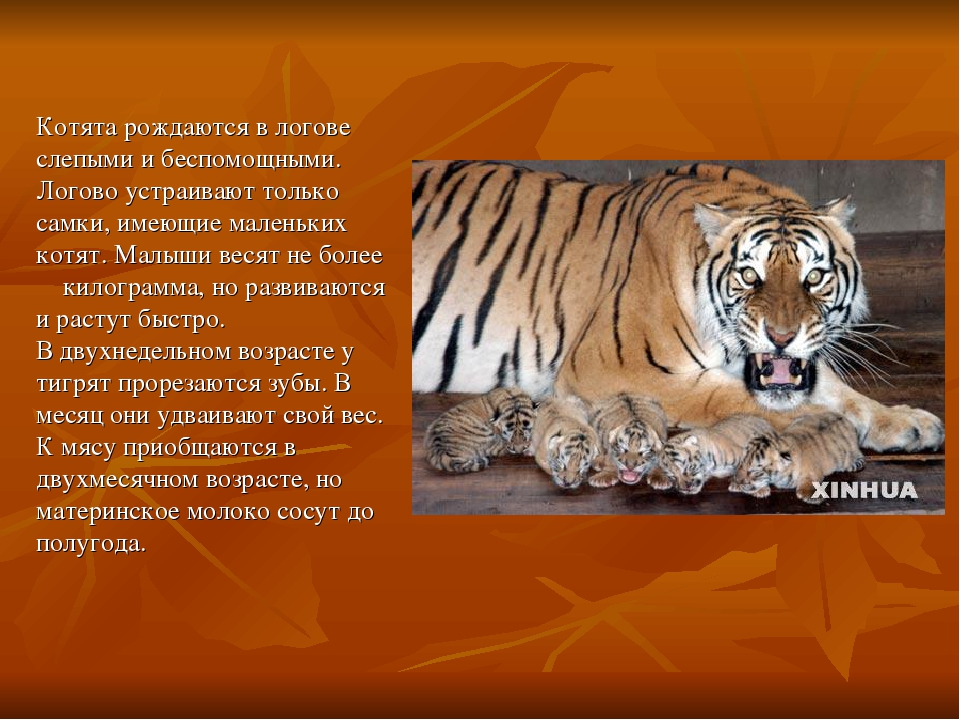 амурский тигр картинка с описанием животные ассоциируются