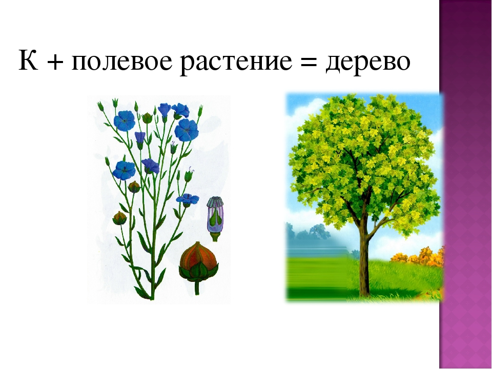 К + полевое растение = дерево