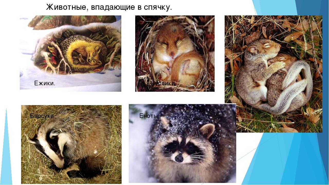 свое фото картинки животных которые на зиму в спячке морозам сорт