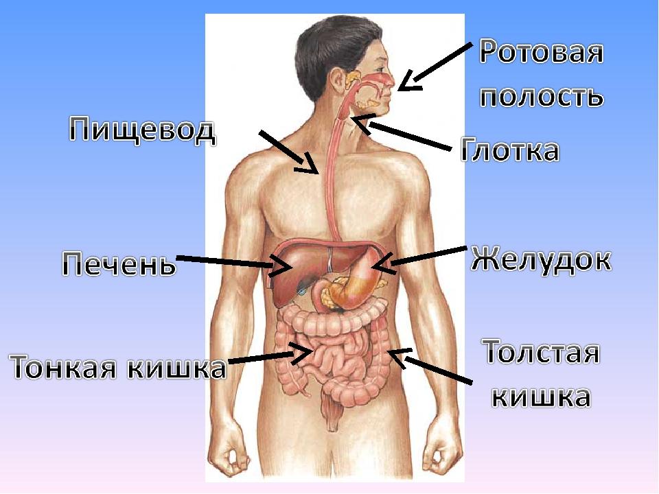 Пищевода и желудка картинки