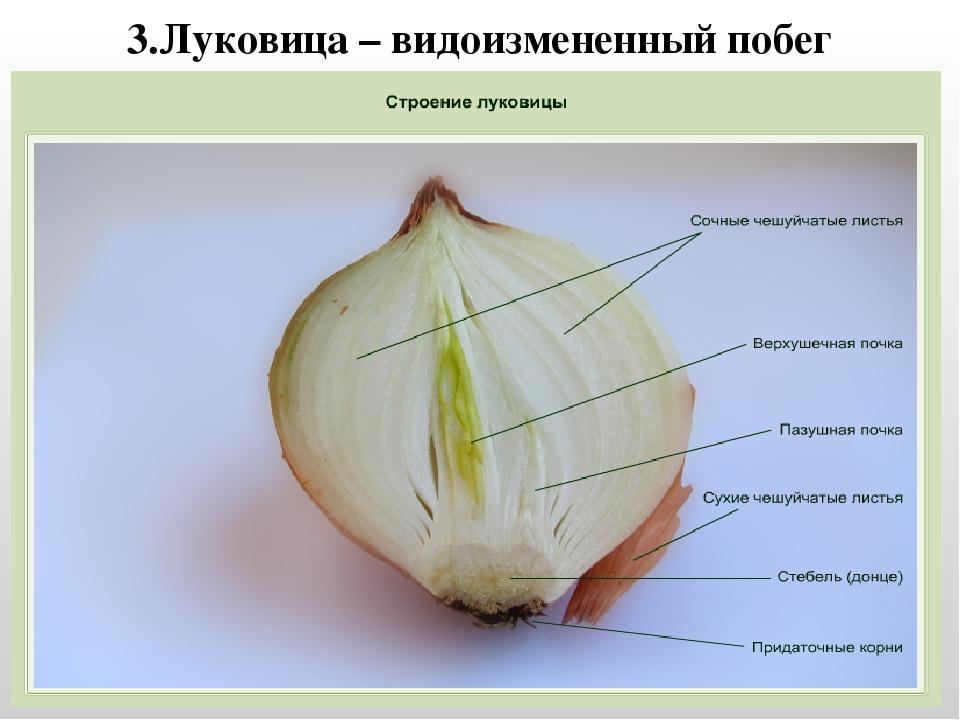 луковица стебель и листья картинки пользователя