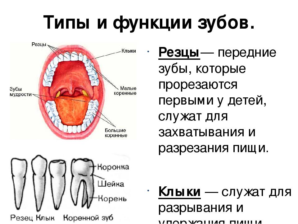 познакомилась типы зубов человека в картинках которых