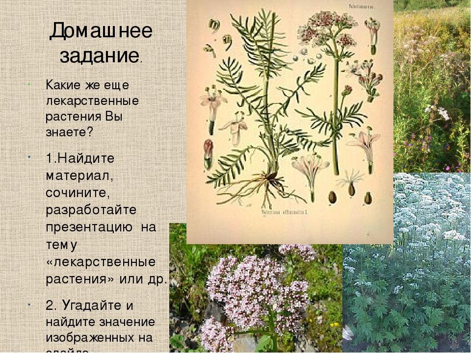 Домашнее задание. Какие же еще лекарственные растения Вы знаете? 1.Найдите ма...