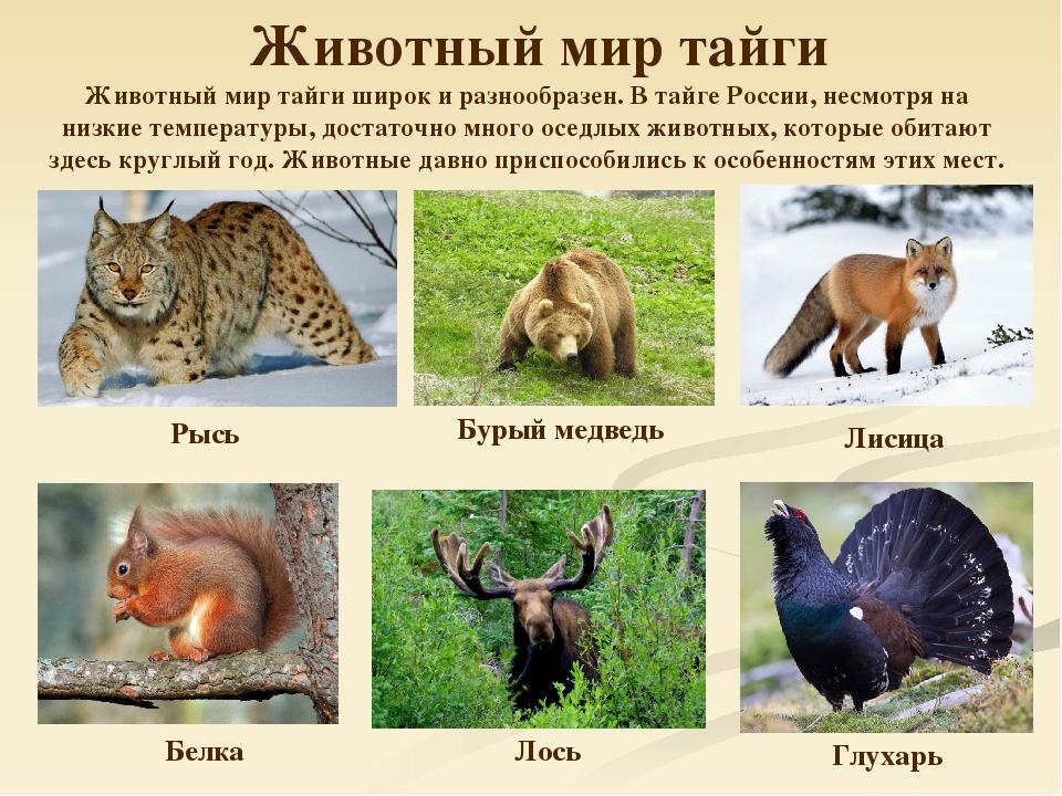 Мужщинам, картинки животный мир тайги