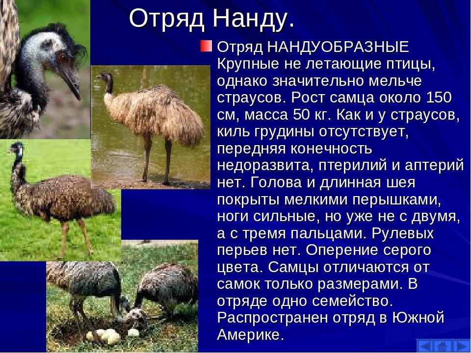 Отряд Нанду. Отряд НАНДУОБРАЗНЫЕ Крупные не летающие птицы, однако значительн...
