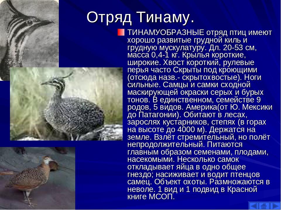 Отряд Тинаму. ТИНАМУОБРАЗНЫЕ отряд птиц имеют хорошо развитые грудной киль и...