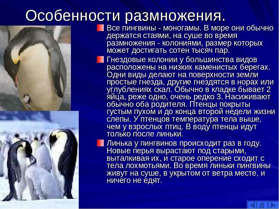 Особенности размножения. Все пингвины - моногамы. В море они обычно держатся...