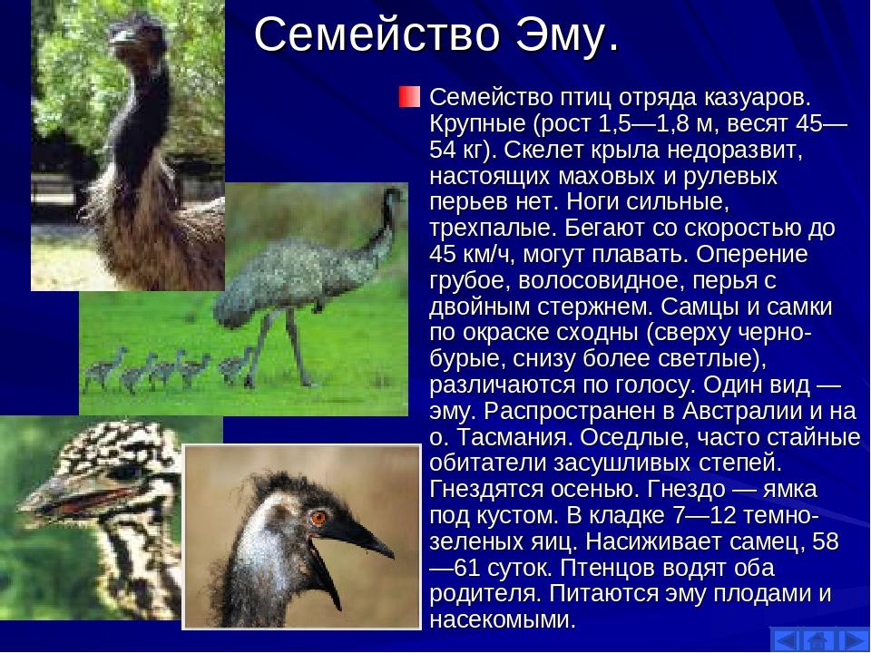 Семейство Эму. Семейство птиц отряда казуаров. Крупные (рост 1,5—1,8 м, весят...