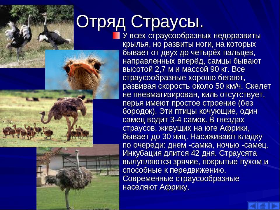 Отряд Страусы. У всех страусообразных недоразвиты крылья, но развиты ноги, на...